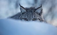 Lynx hiding in the snow wallpaper 2560x1600 jpg