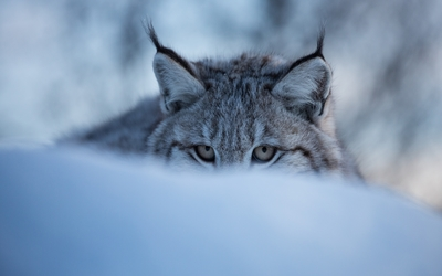 Lynx hiding in the snow wallpaper