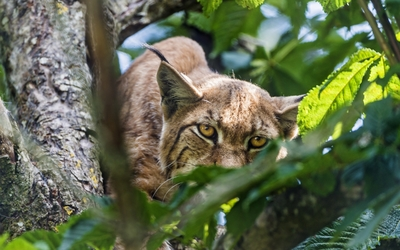 Lynx hiding in the tree wallpaper