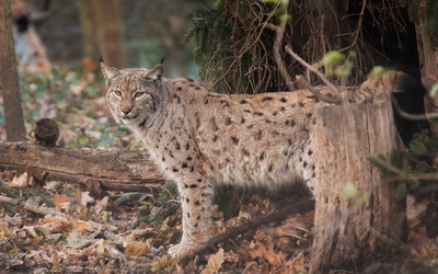 Lynx in the autumn forest wallpaper