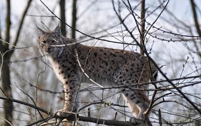 Lynx on a branch wallpaper