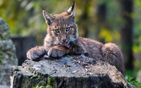 Lynx on a log wallpaper 2560x1600 jpg