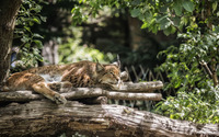 Lynx resting in a tree wallpaper 2560x1440 jpg