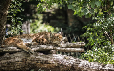 Lynx resting in a tree wallpaper