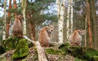Lynxes wallpaper 1920x1200 jpg