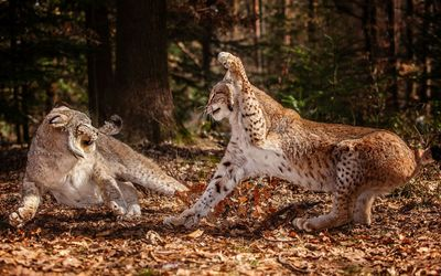 Lynxes fighting wallpaper