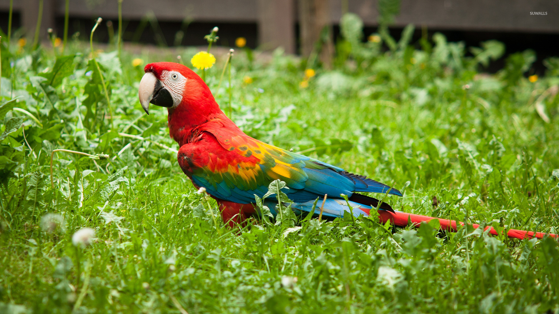 Macaw wallpaper Animal wallpapers