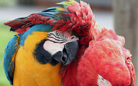 Macaw [5] wallpaper 1920x1200 jpg
