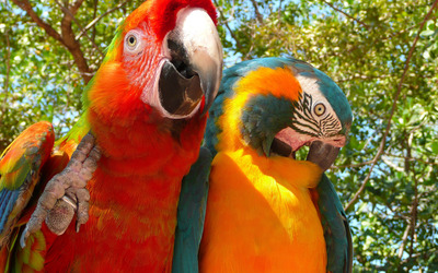 Macaw birds under a tree wallpaper