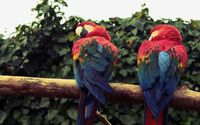 Macaws on the branch wallpaper 2560x1600 jpg