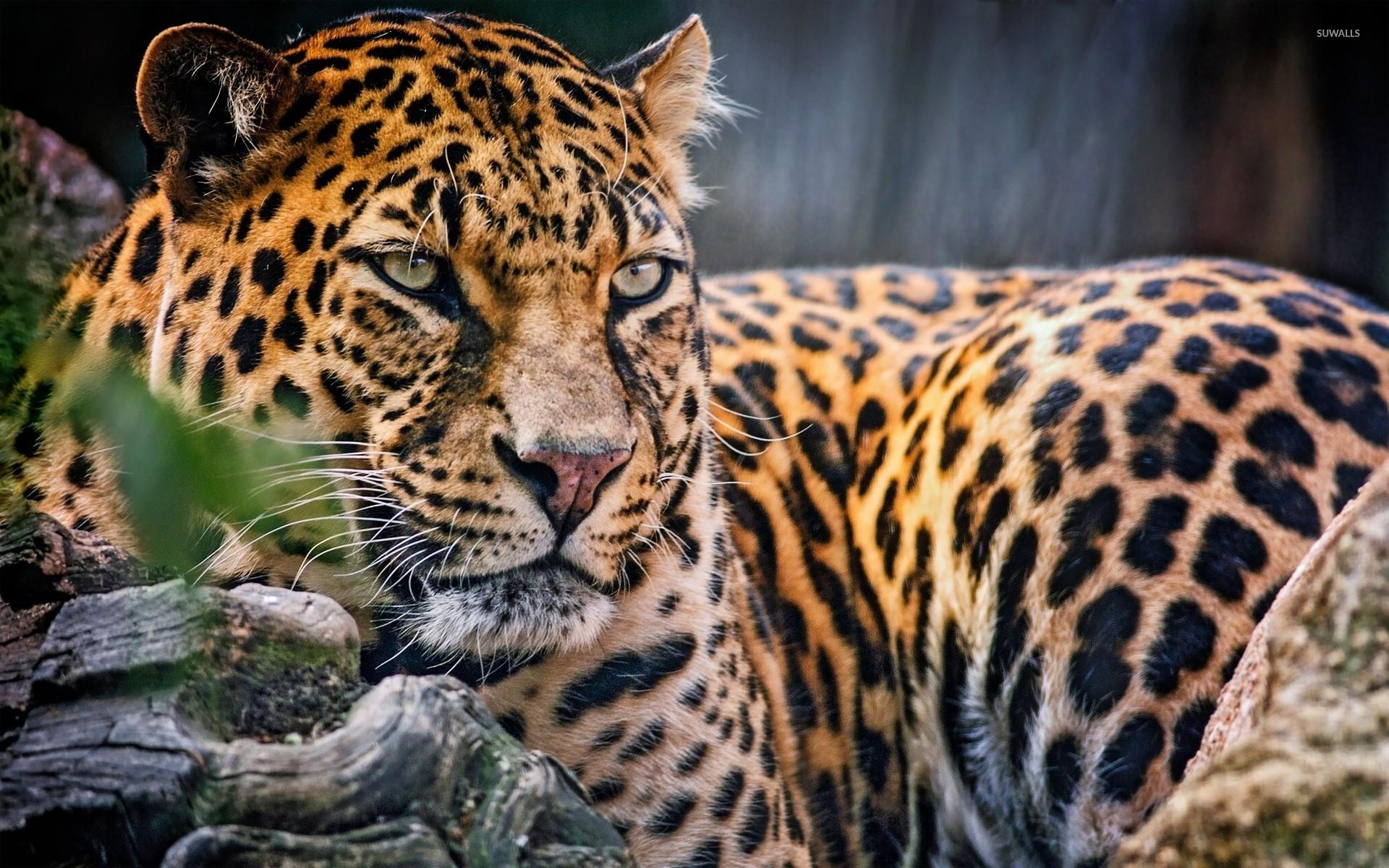 leopard wildlife wallpapers 41 wallpapers � wallpapers 4k