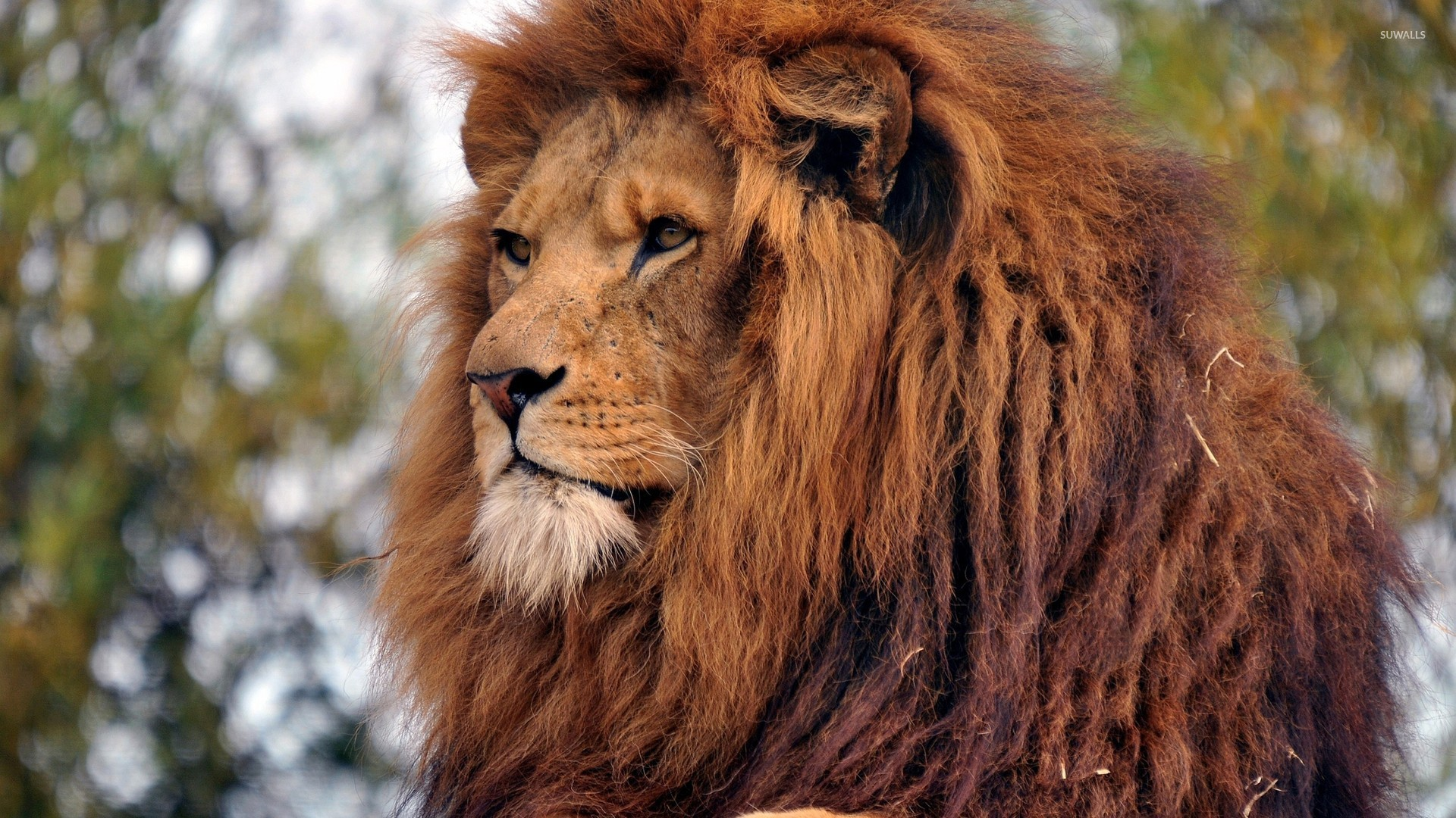 Majestic Lion Gazing Wallpaper Animal Wallpapers 49288