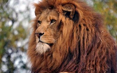 Majestic lion gazing Wallpaper