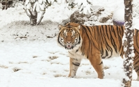 Majestic tiger in the snow wallpaper 1920x1200 jpg