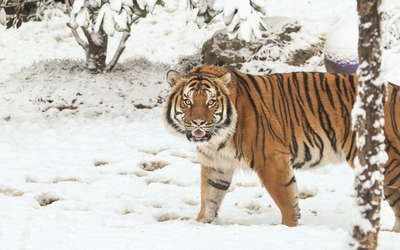 Majestic tiger in the snow wallpaper