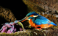 Malachite Kingfisher wallpaper 1920x1200 jpg
