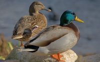 Mallards wallpaper 2560x1600 jpg