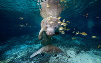 Manatee wallpaper 1920x1200 jpg