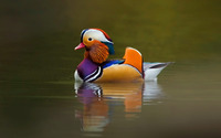 Mandarin duck [4] wallpaper 1920x1080 jpg