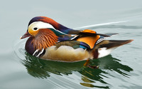 Mandarin duck [3] wallpaper 2880x1800 jpg