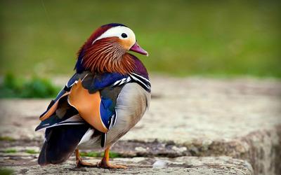 Mandarin duck [2] wallpaper