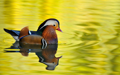 Mandarin duck [5] wallpaper