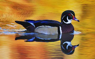 Mandarin duck on the lake wallpaper