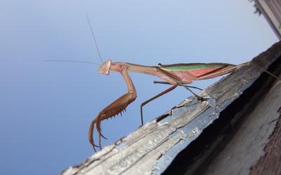 Mantis [3] wallpaper