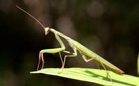 Mantis [2] wallpaper 1920x1200 jpg
