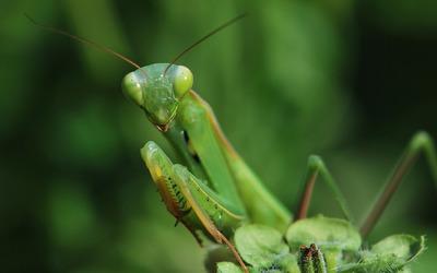 Mantis [4] wallpaper