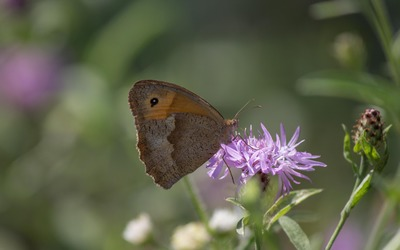 Meadow brown on a knapweed blossom wallpaper