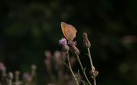 Meadow brown on a thistle wallpaper 1920x1200 jpg