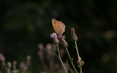 Meadow brown on a thistle wallpaper