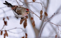 Mealy redpoll on a winter branch wallpaper 1920x1200 jpg