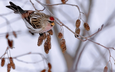 Mealy redpoll on a winter branch wallpaper