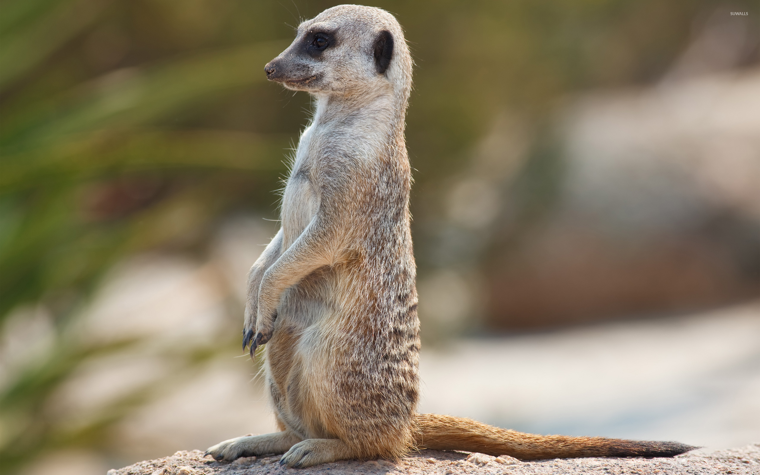 meerkat wallpaper   animal wallpapers   12055