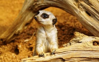 Meerkat [3] wallpaper