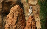 Meerkat [2] wallpaper 1920x1200 jpg