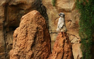 Meerkat [2] wallpaper