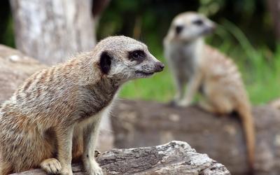 Meerkats wallpaper