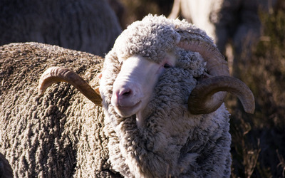 Merino sheep wallpaper