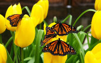 Monarch butterflies wallpaper 1920x1200 jpg