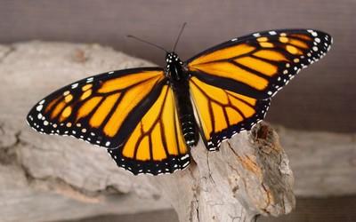Monarch butterfly [3] wallpaper