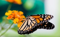 Monarch butterfly [5] wallpaper 2560x1600 jpg