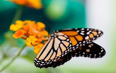 Monarch butterfly [5] wallpaper