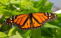 Monarch butterfly wallpaper 1920x1200 jpg