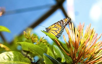 Monarch Butterfly [2] wallpaper