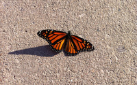 Monarch butterfly [4] wallpaper 2560x1600 jpg