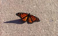 Monarch butterfly [4] wallpaper 2560x1600 jpg