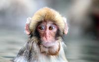 Monkey wallpaper 2560x1600 jpg